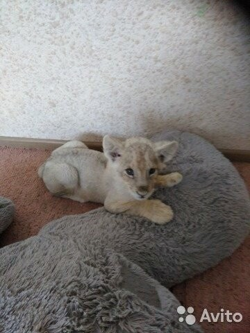 В Новошахтинске продают львенка за 100 тыс. рублей, фото-1