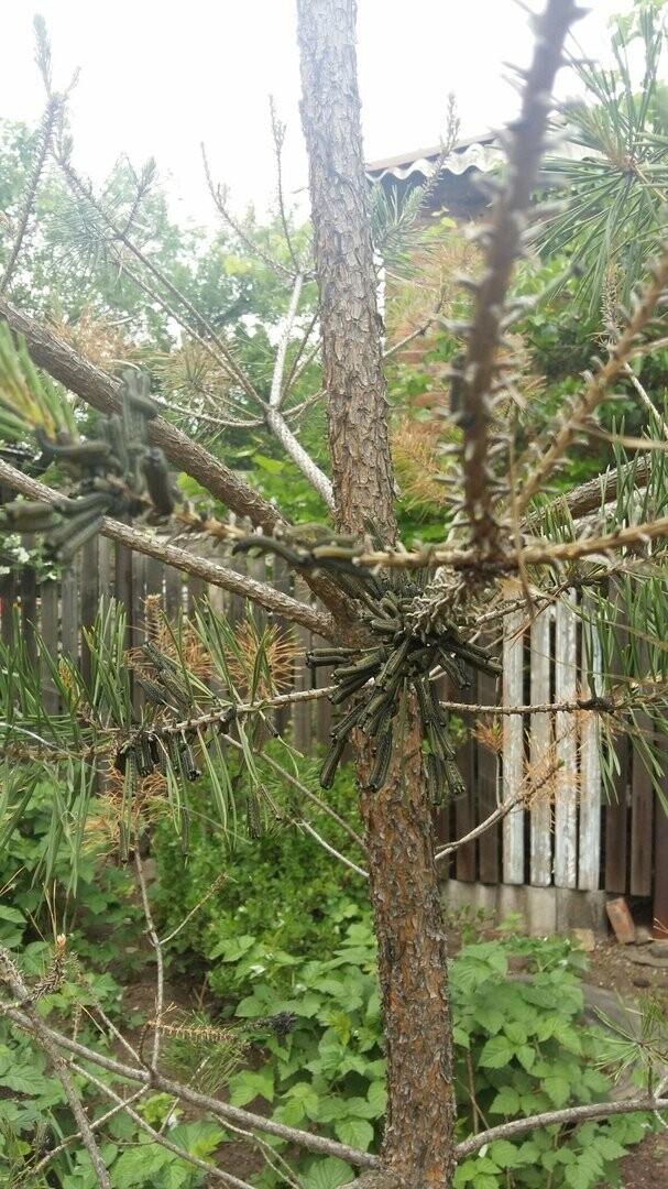 Жители Новошахтинска обеспокоены нашествием гусениц на деревья, фото-1